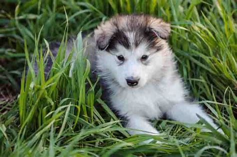 alaska puppies how the malamute became alaska s official state dogtime