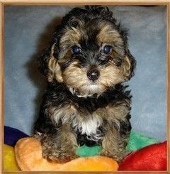 black yorkie poo puppies 1000 ideas about yorkie poo puppies on yorkie poodles and shichon
