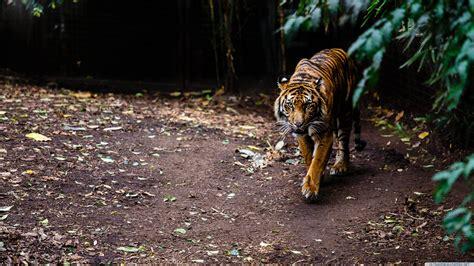 imagenes 4k tigre tiger animals wallpaper no 392214 wallhaven cc
