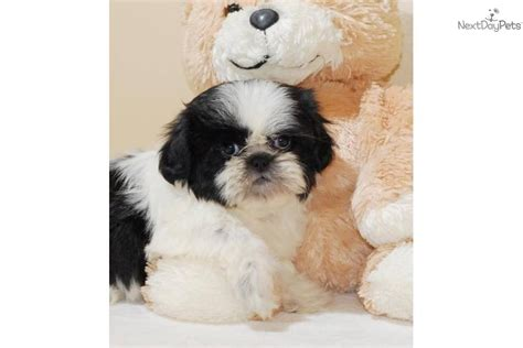 shih tzu for free uk adorable shih tzu puppies for free adoption dogs for sale breeds picture
