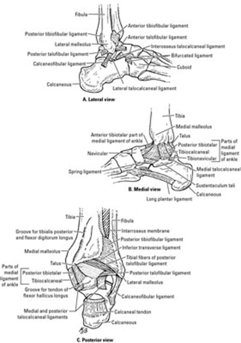 Joints of the Ankle and Foot - dummies