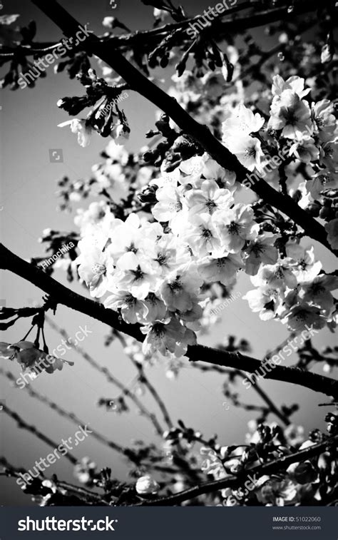 cherry tree symbolism symbol of japanese culture cherry tree blossoms in monochrome stock photo 51022060