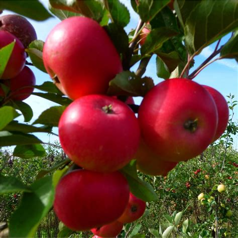 what is the fruit of the tree of discovery apple tree buy apple trees purchase apple