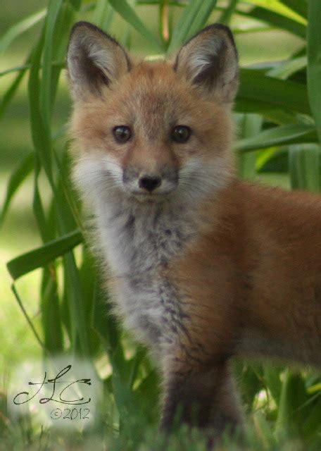 red fox in backyard the fox in my backyard enjoy the view