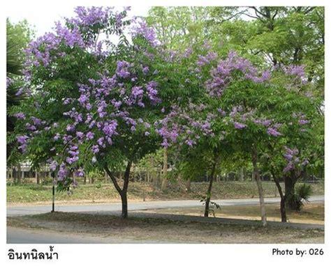 tree l ช อว ทยาศาสตร lagerstroemia speciosa l pers ช อ