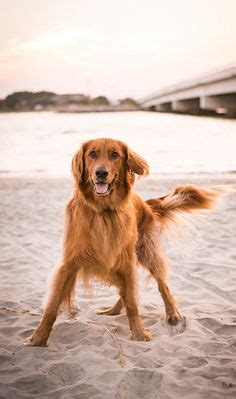 golden retriever puppies charleston sc 1000 ideas about golden cocker retriever on