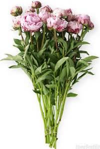 peony flower care peony season