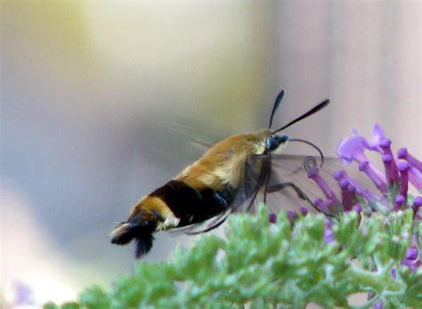 file hummingbird hawk moth macroglossum stellatarum jpg