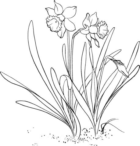 narcissus flower coloring page daffodil flower tattoo coloring pages