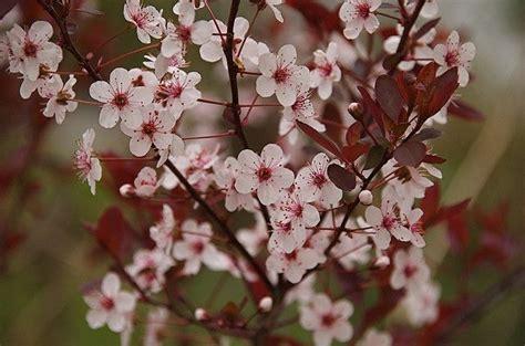 plum hedge purple leaf botanical paradise pinterest