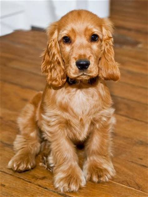 cocker spaniel breeders breeds cocker spaniel puppies cocker photographic print by philippe