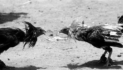 gran jornada gallistica de 40 peleas de gallos en santiago la jornada estados
