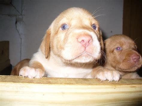 dudley lab puppies for sale 129 best images about dudley labrador retrievers on st s quails