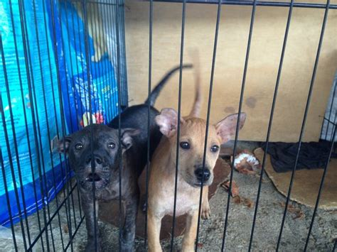 pug mix for adoption mixed breed puppies adopted 3 years 4 months pug mix puppy for adoption from kajang