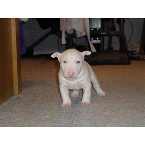 miniature bull terrier puppies for adoption miniature bull terriers for sale adoption from chesapeake virginia adpost
