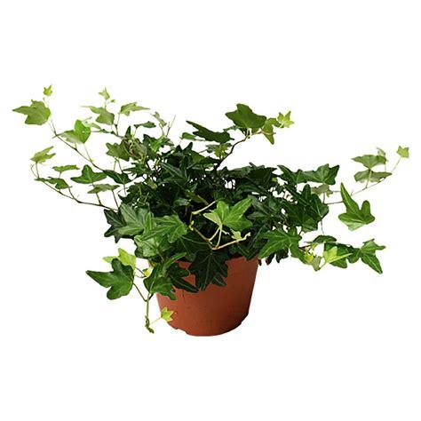 Hedera Helix Zimmerpflanze by Piardino Efeu Hedera Helix Topfgr 246 223 E 12 Cm Bauhaus