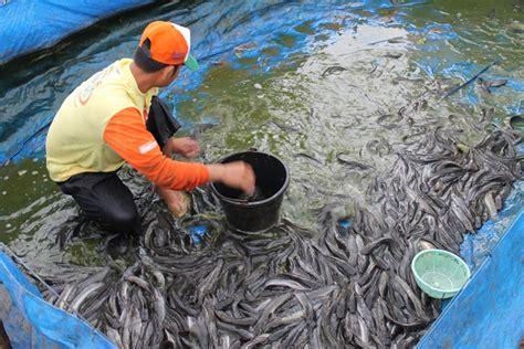 Pakan Ikan Lele Per Hari panduan memulai ternak budidaya lele hirukpikuk