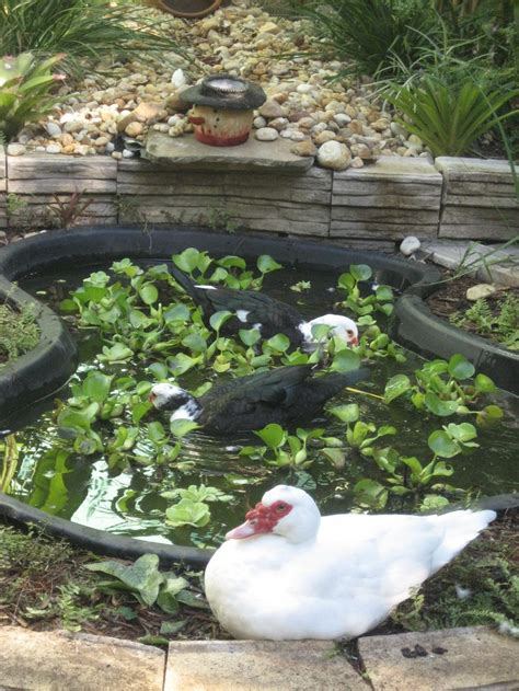 best backyard ducks 17 best images about duck ponds on gardens