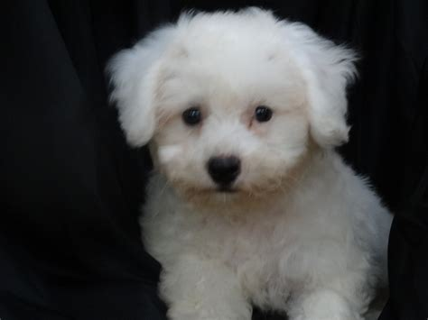 Bichon Frise Also Search For Bichon Frise Of The Bichon