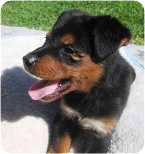 collie rottweiler mix border collie rottweiler mix puppies quotes