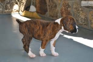 American boxers brindle fawn reverse brindle boxer puppies for sa