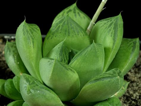 Garden Flower Plants Haworthia Cuspidata Window Plant World Of Succulents