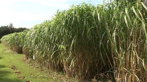 bbc news elephant grass a green energy solution