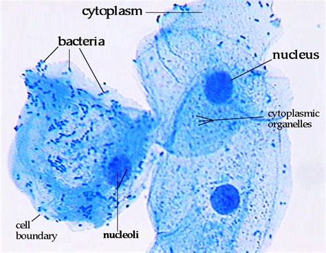 cheek cell diagram histology lab with answers