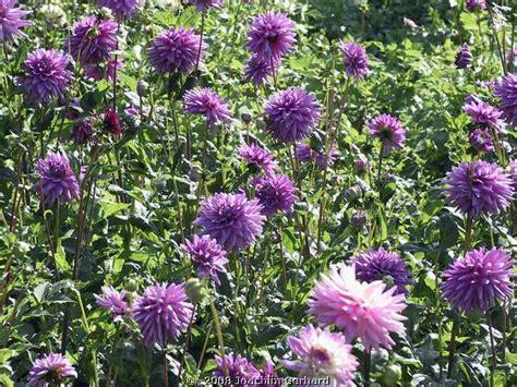 Britzer Garten Im Herbst by Dahlienschau Im Britzer Garten Berlin Herbst 2007
