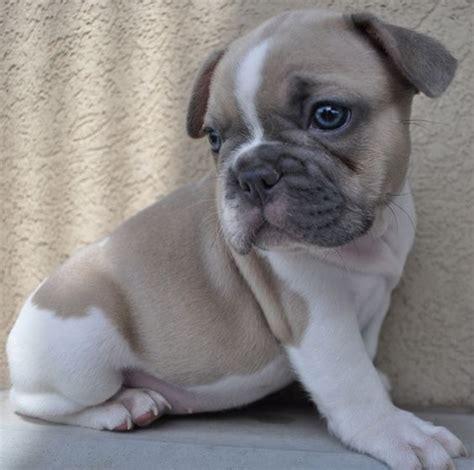 blue fawn bulldog puppies blue fawn pied bulldog cutest animals bulldog puppies