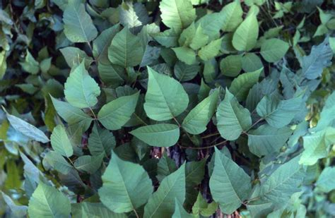 poison oak on dogs poison oak on dogs pictures breeds picture
