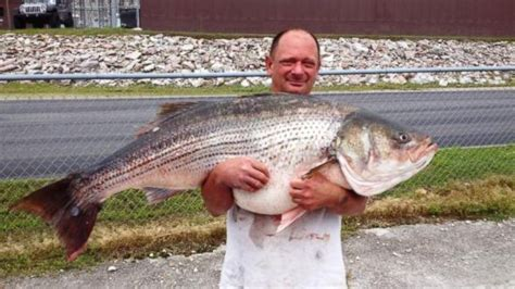 Records For Missouri Missouri Fisherman Hauls In Record Breaking 65 Pound Striped Bass For The Win