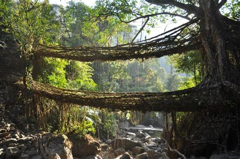 what is root bridge cherrapunjee and the amazing root bridges page 2 india