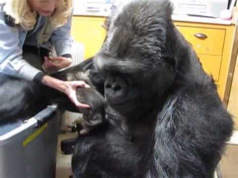 koko the gorilla meets robin williams | doovi