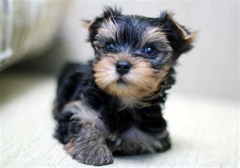 all you need to about yorkie puppies create a playful environment and click some fascinating pictures af yorkie puppies