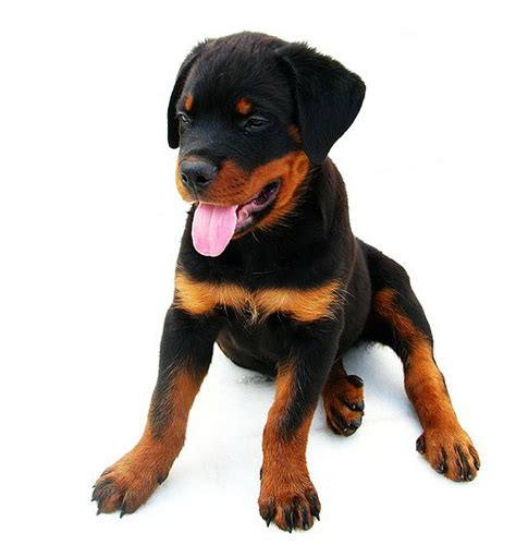2 month puppy file 2 months rottweiler puppy jpg wikimedia commons