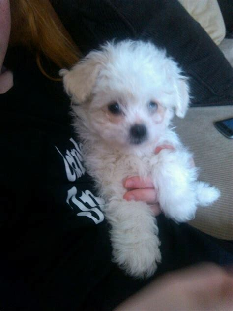 malshipoo puppies malshipoo puppy sooooo the end end of and coloring