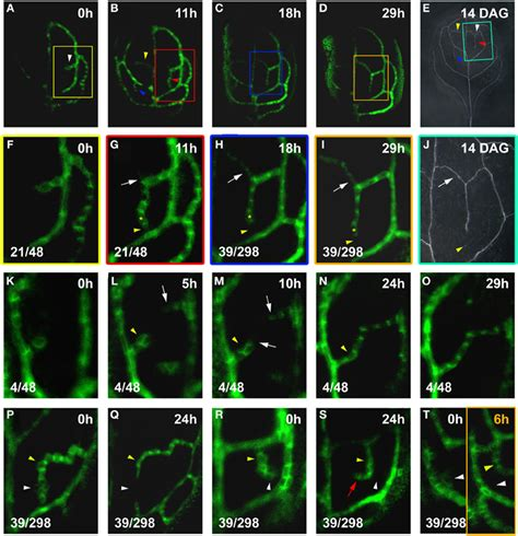 vein pattern formation frontiers dynamic auxin transport patterns preceding