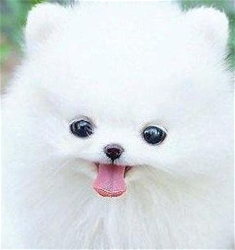throwback pomeranian puppies for sale pom pom dogs thinglink