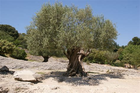 olive tree olive leaves and the ancient skin care secret of the greeks