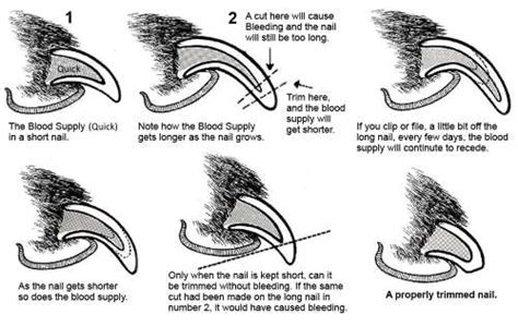 how to cut puppy nails trimming nails how best to cut your cocker spaniel s claws