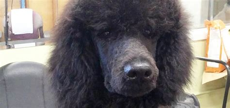 old fashioned dog grooming pictures for sale poodle for sale impressive kennels