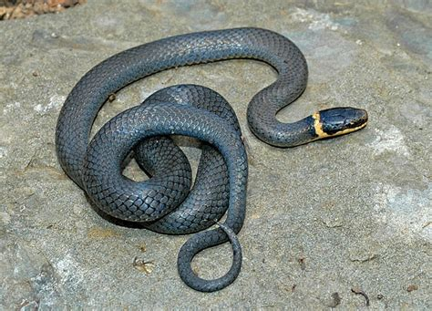 northern ring necked snake