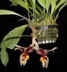Home Decorative Plants stanhopea tigrina comprar em orquideashop
