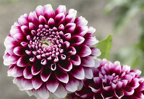 dahlia varieties learn about different types of dahlia