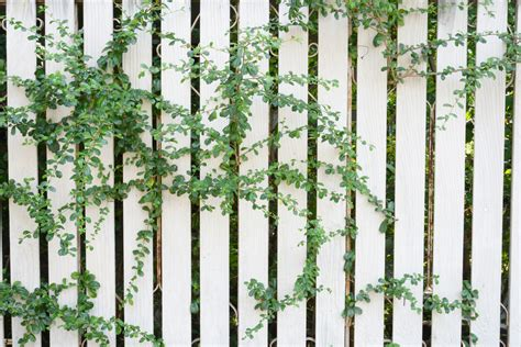 plants that climb fences 3 ways to make fences more attractive