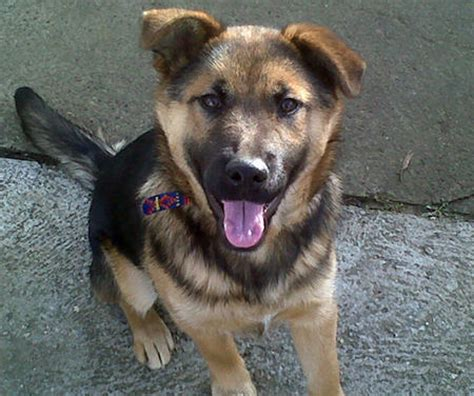 german shepherd mix puppies puppies puppy names pictures of puppies more daily puppy