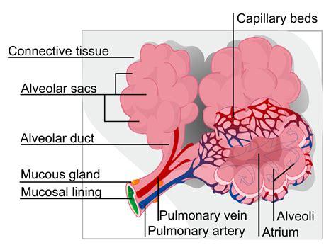 lungs definition location anatomy function diagram pulmonary alveolus wikipedia
