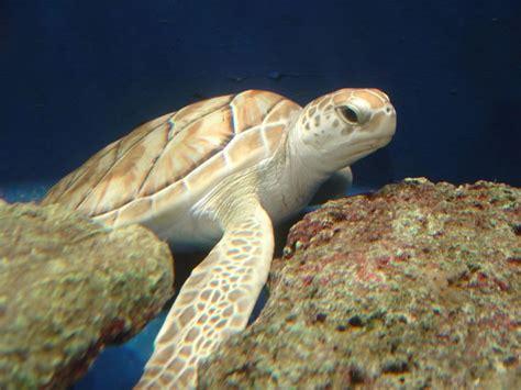 imagenes de tortugas blancas gt animales raros la tortuga blanca y en peligro de