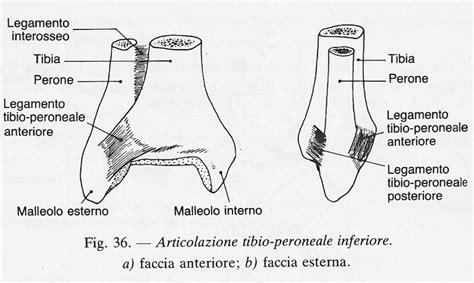 malleolo tibiale interno come sono fatte le articolazioni descrizione e anatomia